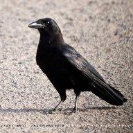 Scarbird